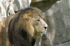 Big majestic lion. Standing in the middle range royalty free stock photography