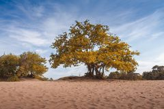 Big majestic tree with green yellow and orange leaves in sandy soil landscape, dunes panorama blue sky. And clouds Stock Image
