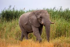 Big male African elephant Stock Image