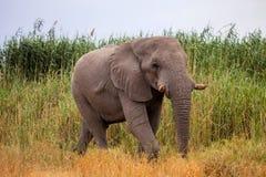 Big male African elephant Stock Image