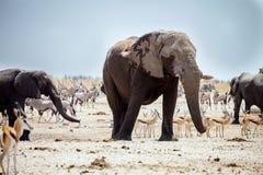 Big male African elephant,Namibia Royalty Free Stock Photo