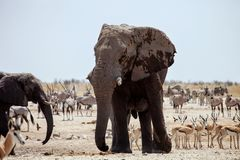 Big male African elephant,Namibia Royalty Free Stock Images