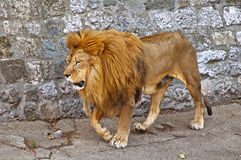 Big male African lion. Full body shot of a male African lion Royalty Free Stock Images