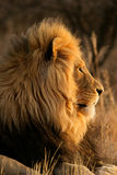Big male African lion. Portrait of a big male African lion (Panthera leo), South Africa Stock Photography