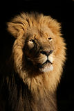 Big male African lion. Portrait of a big male African lion (Panthera leo), against a black background, South Africa Stock Photography