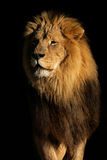 Big male African lion. Portrait of a big male African lion (Panthera leo), against a black background, South Africa Stock Image
