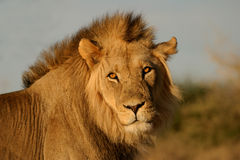 Big male African lion Royalty Free Stock Photos