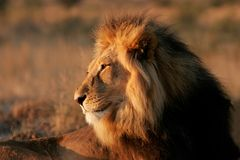 Big male African lion Stock Photography