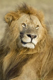Big Male African Lion in the Maasai Mara in Kenya Stock Photography