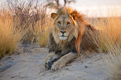 Big male African lion Royalty Free Stock Photography