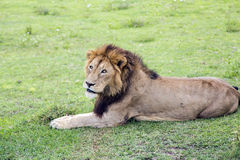 Big male African lion Panthera leo in the Ngorongoro crater Royalty Free Stock Images