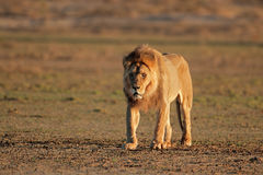 Big male African lion Stock Images