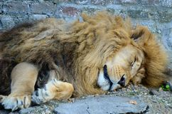 Big male African lion sleeping royalty free stock photography