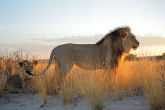 Big male African lions. (Panthera leo) in early morning light, Kalahari desert, South Africa Stock Photos