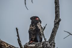 A big male Bateleur eagle perched on a tree branch during safari in South Africa stock photography