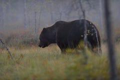 Big male bear Stock Photography
