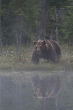Big male bear in the bog. With reflection stock image
