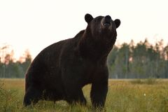 Big male bear in the bog Stock Photos