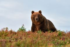 Big male bear on the hill Stock Image