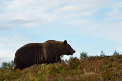Big male bear on the hill Stock Images