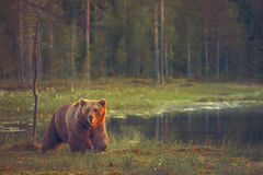 Big male bear walking in the bog Royalty Free Stock Photo