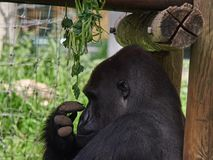 The big male black hunchback sits near the canopy, leaned against the logs, a profile photo. Big male black hunchback sits near the canopy, leaned against the Stock Photo