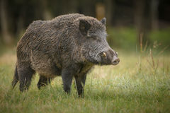 Big male boar Royalty Free Stock Photo