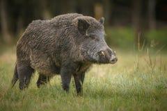 Big male boar. A large male wild boar in long grass Royalty Free Stock Photo