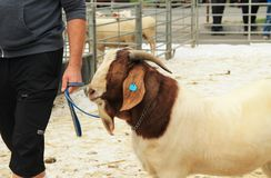 Male Boer goat. Big male Boer goat walking on the leash at the exhibition of farm animals in Vendryne, Czech Republic, October 14, 2017 royalty free stock photography
