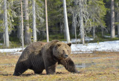 Big male brown bear on a bog in the forest  in spring. Royalty Free Stock Image