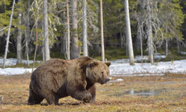 Big male brown bear on a bog in the forest  in spring. Stock Photography