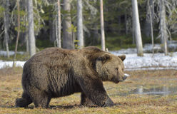 Big male brown bear on a bog in the forest  in spring. Stock Images