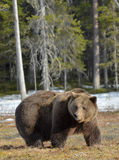 Big male brown bear on a bog in the forest  in spring. Royalty Free Stock Photos