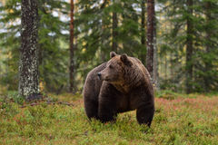 Big male brown bear in forest. After rain stock images