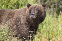 Big male brown bear in portrait photograph Royalty Free Stock Image