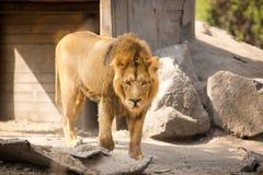 Big male cat, lion. Adult lion, big male cat Stock Photo