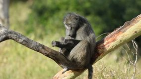Chacma baboon in a tree stock video