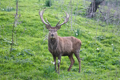 Big male deer in the mountain Stock Photography
