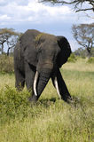 Big male elephant. In the Tarengire National Park. Tanzania stock photography