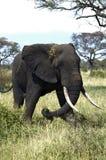 Big male elephant. In the Tarengire National park. Tanzania royalty free stock photo