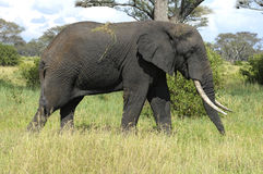 Big male elephant. In the Tarengire National park. Tanzania royalty free stock image