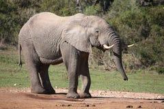 Big Male Elephant Drinking Royalty Free Stock Image