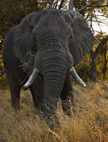 Big male elephant. Elephant eating, photographed from the front Stock Photo