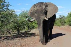 Big male Elephant Stock Images