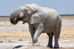 Big male elephant Stock Image