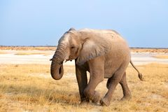 Big male elephant with long trunk walking on yellow grass close up in Etosha National Park, Namibia, Southern Africa royalty free stock photo