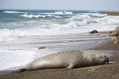 Big male elephant seal, Patagonia, Argnentina. Big male elephant seal resting on a beach in Valdes peninula, Patagonia, Argentina Royalty Free Stock Images
