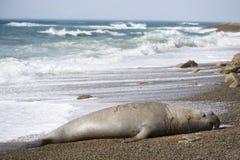 Big male elephant seal, Patagonia, Argnentina. stock image