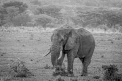 Big male Elephant walking in the grass. In black and white in the Welgevonden game reserve, South Africa stock photo