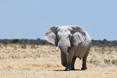 Big male elephant walking Stock Image